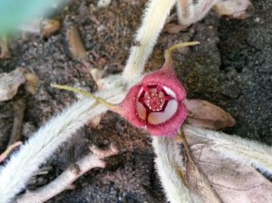 Unless you look near the ground, you're unlikely to spot Wild Ginger's hidden spring blooms.